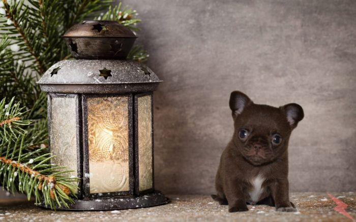 Шоколадный щенок чихуахуа из питомника, Краснодар