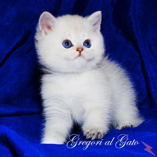 Британские шиншиллы голубоглазые котята, МОСКВА