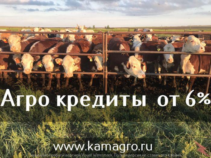 Племенной скот мясных пород с доставкой, Набережные Челны