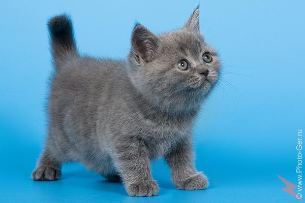 Чистокровные британские котята, МОСКВА
