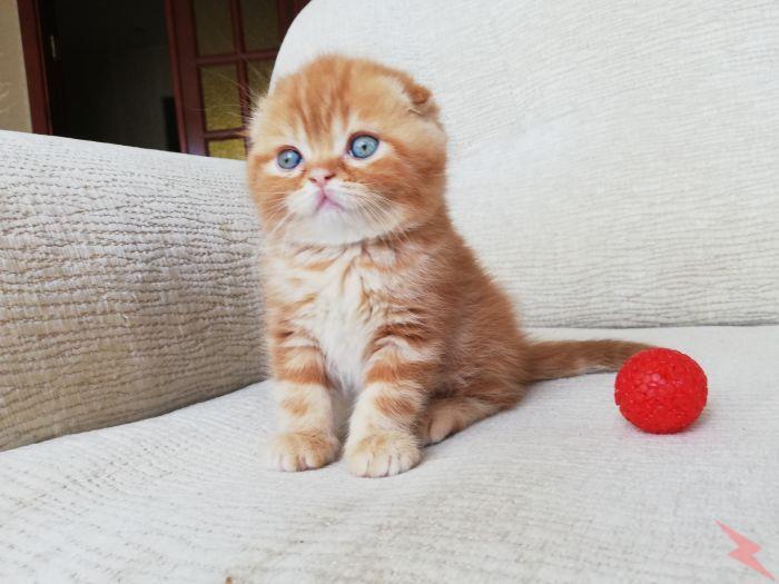 Шотландские котята с родословными, МОСКВА